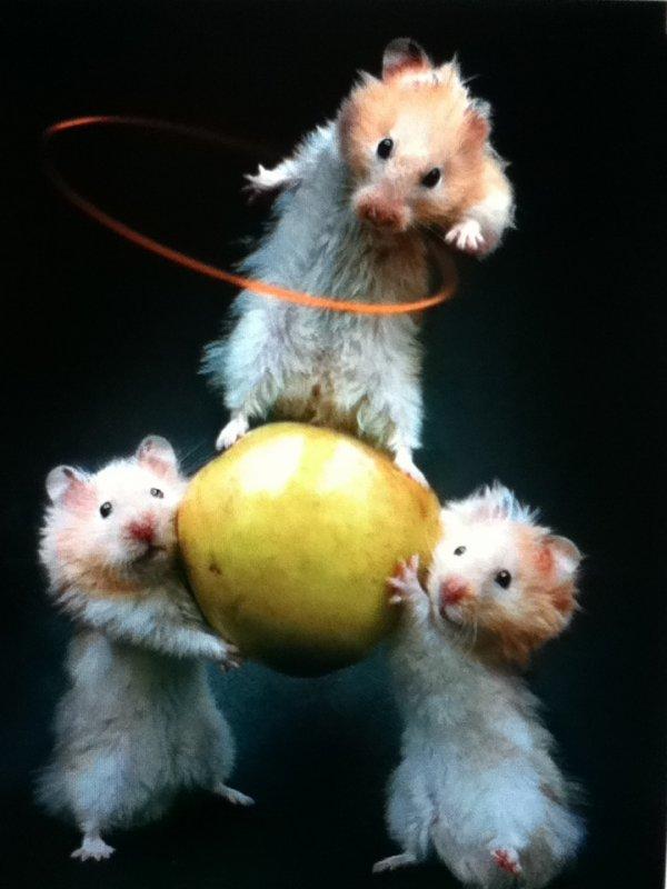 Hamster pom pom rongeur