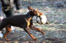 Photo de dobermann-EdenJi