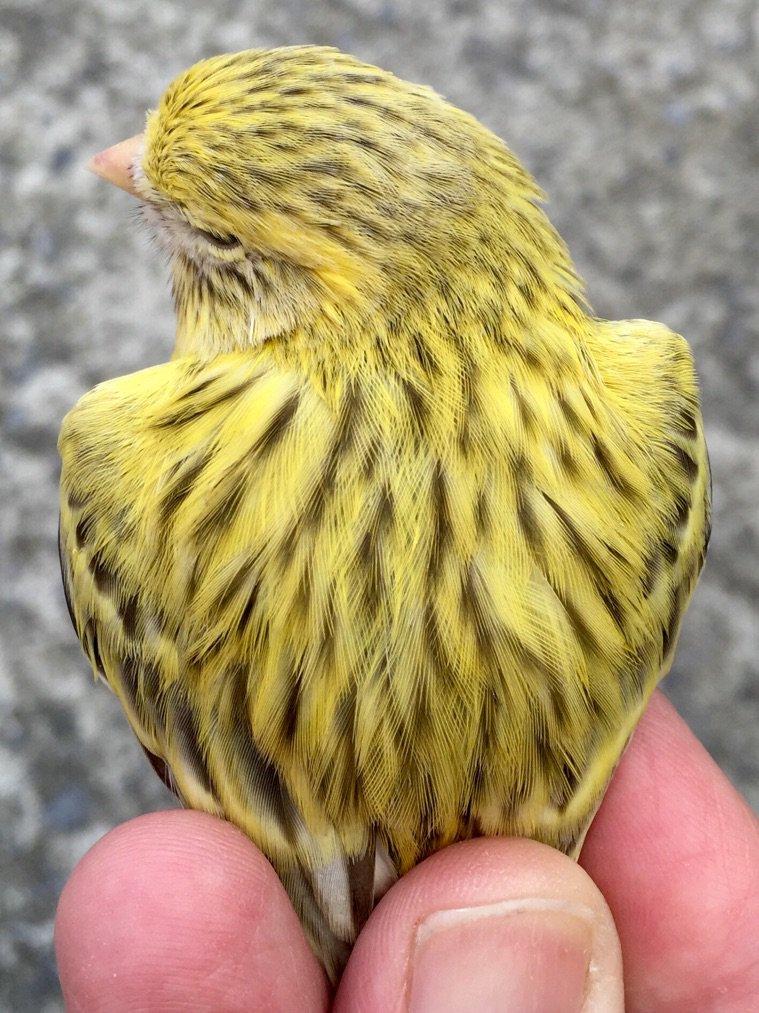 Agata topacio amarillo mosaico