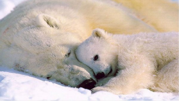 LES OURS BLANCS : TENDRESSE