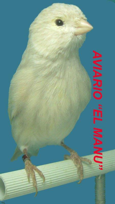 JASPE BRUNO AMARILLO MOSAICO REFRACCIÓN AZUL