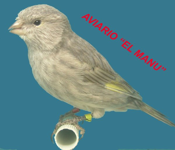 JASPE NEGRO AMARILLO MOSAICO REFRACCIÓN AZUL