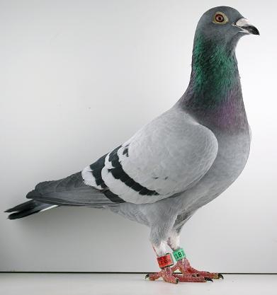 un des fils d'Albatros qui sera à la vente