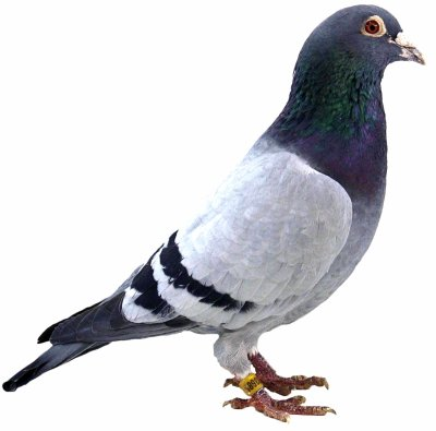 Or Lindeloof: Extra pigeon de grand fond