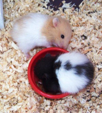 B b hamster blog de exotique51 - Hamster russe panda ...