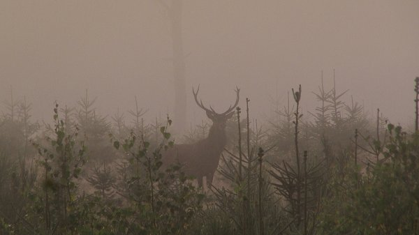 Cerf dans le brouillard