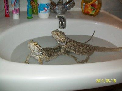 Lola et Krauser qui prennent leur bain dans le lavabo