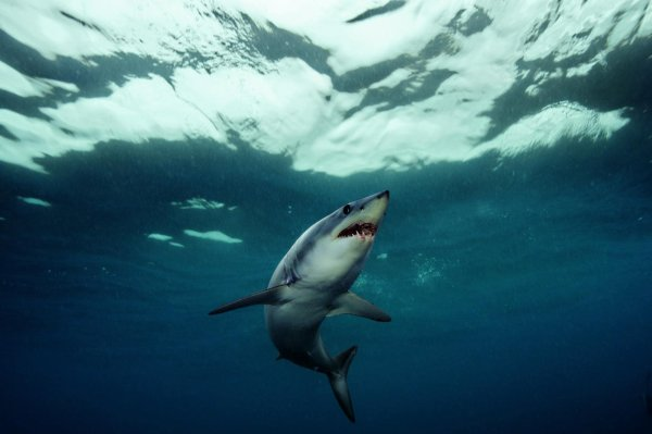 Le requin-taupe bleu