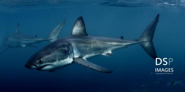 De beaux requins (1/6)