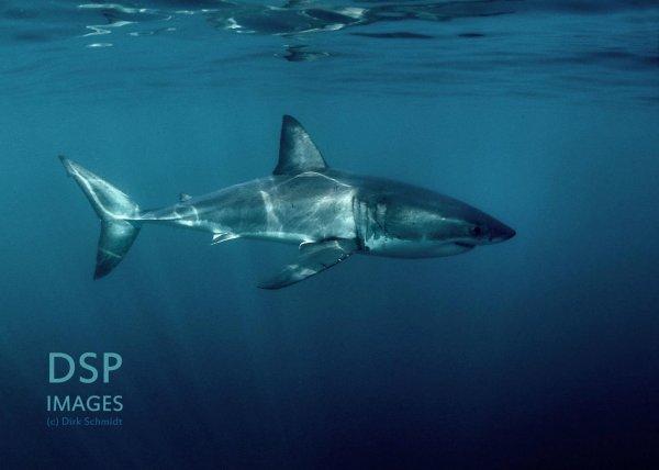 De beaux requins (3/6)