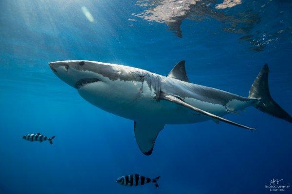 De beaux requins (4/6)