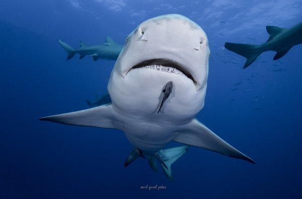 De beaux requins (5/6)