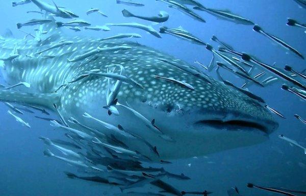 Un requin baleine dans un banc de poissons