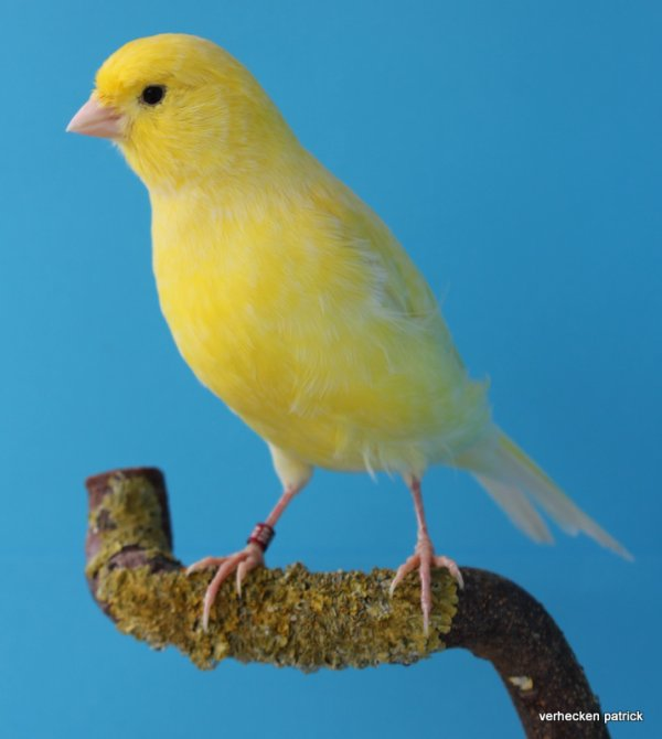 geel schimmel