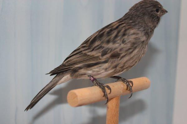 zwartwit (dominant)