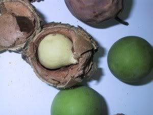 L'HUILE DE TAMANU « ATI »  L'HUILE SACREE DE TAHITI