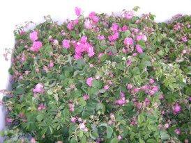 la rose de lkelaa magouna