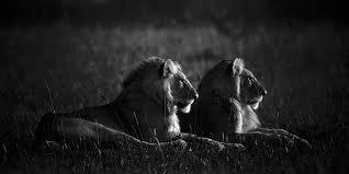 Lion et lionne en noir et blanc
