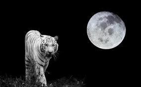 Tigre blanc sous la lune