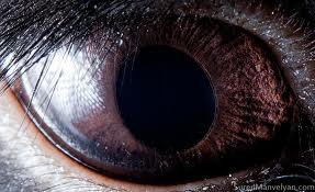 oeil marron d'un cheval