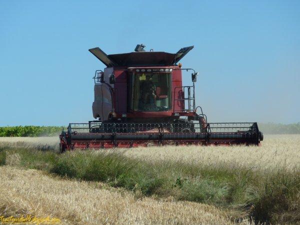 Moisson de blé dur 2011 ( 25 juin 2011 )