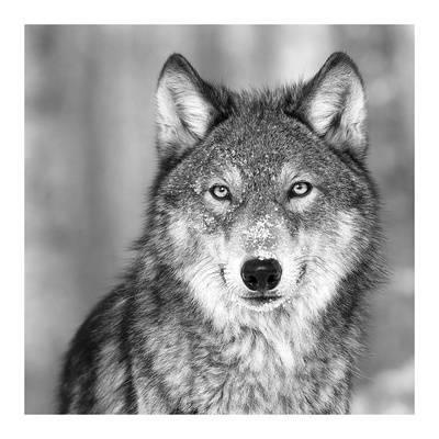 Le Loup - Mon animal préféré *-* ♥