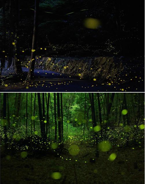 Les lucioles au Japon.