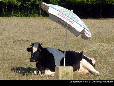 Où vivent de très jolies vaches...