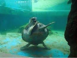 Si, ça existe les tortues Ninja...!