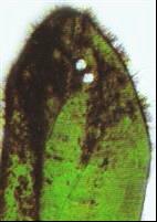 Les physes détruisent les algues brunes.