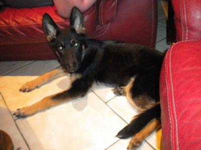 Voici mon nouveau locataire lol, Tyson 6 mois berger allement il etait affamer nous l'avont adopter j'espere qu'il sera sage avec mes BB !!
