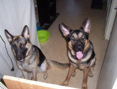 J'ai demander  une photo de ses parent les voici la femelle a gauche et bien sur le mal a droite!