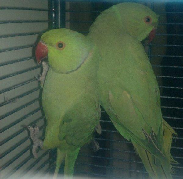Mes deux nouvelles perruche à collier : un malle et une femelle