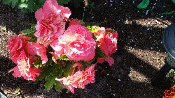 fleur du quebec