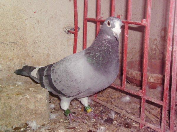 Le 7ème As Pigeon Yearling Nord-Pas-de-Calais 2009