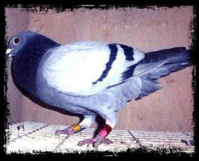 """Le """"228144/13""""  d'Eric MONTAGNE, sacré  1er As pigeon Demi-Fond Jeunes de l'arrondissement de Lille 2013"""