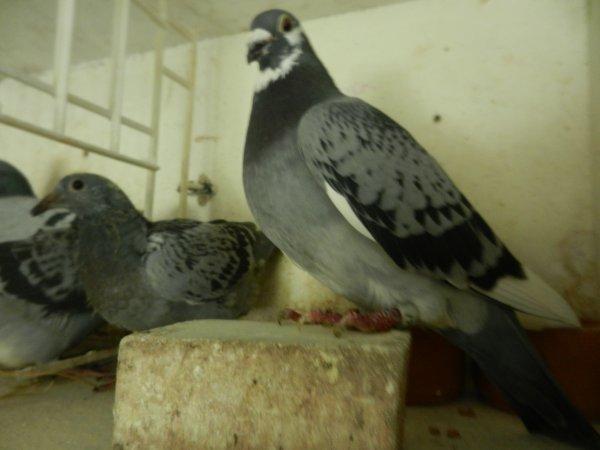 Colonies MANNA Eva et DEPOORTERE Gilbert: Pigeons offerts à la vente d'Agen-Télévie du 22 fevrier 2015