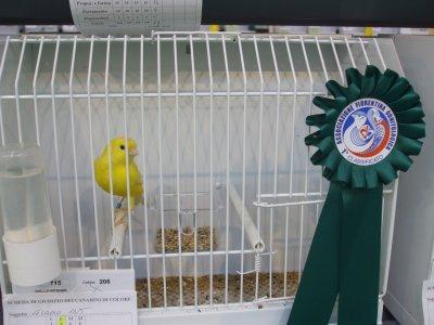 Giallo Intenso - 1° classificato Mostra Ornitologica Firenze