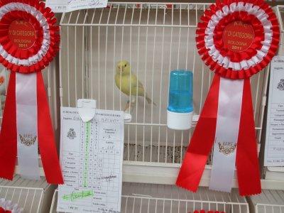 Giallo Avorio brinato - 1° classificato Mostra Ornitologica Bologna