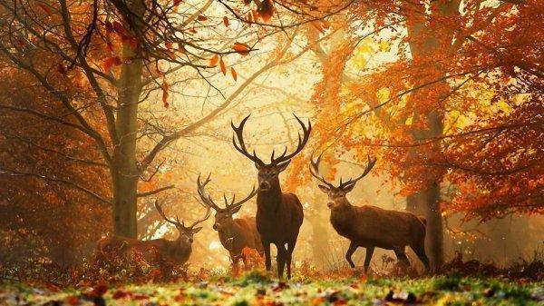 Le roi de la forêt: le cerf