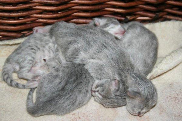 les premiers chatons 2012 sont arrivés.....