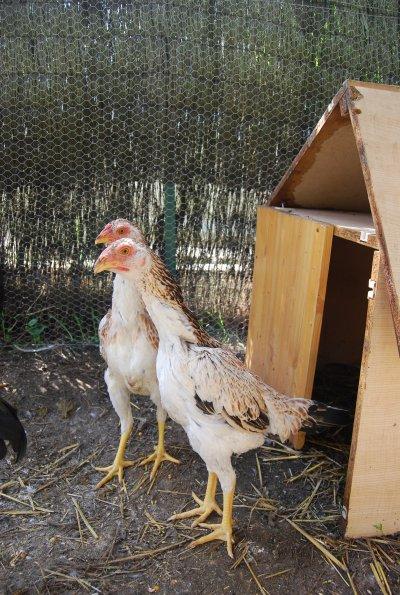 mes poules shamo a 6 mois