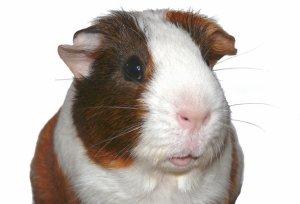Cochon D'inde :