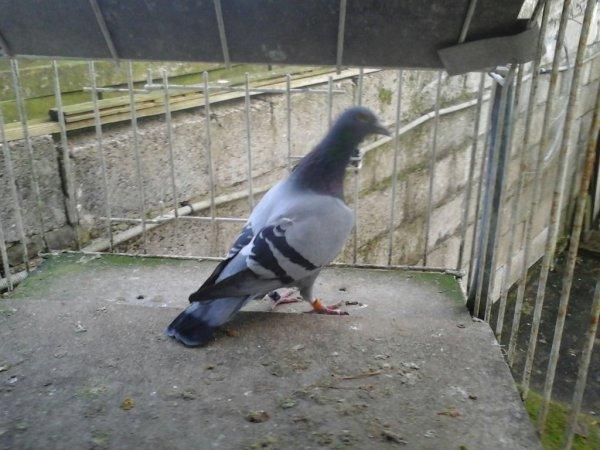 Pigeons de mr griboval romuald