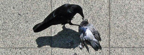 Oui , Les Corbeaux Sont Méchants !