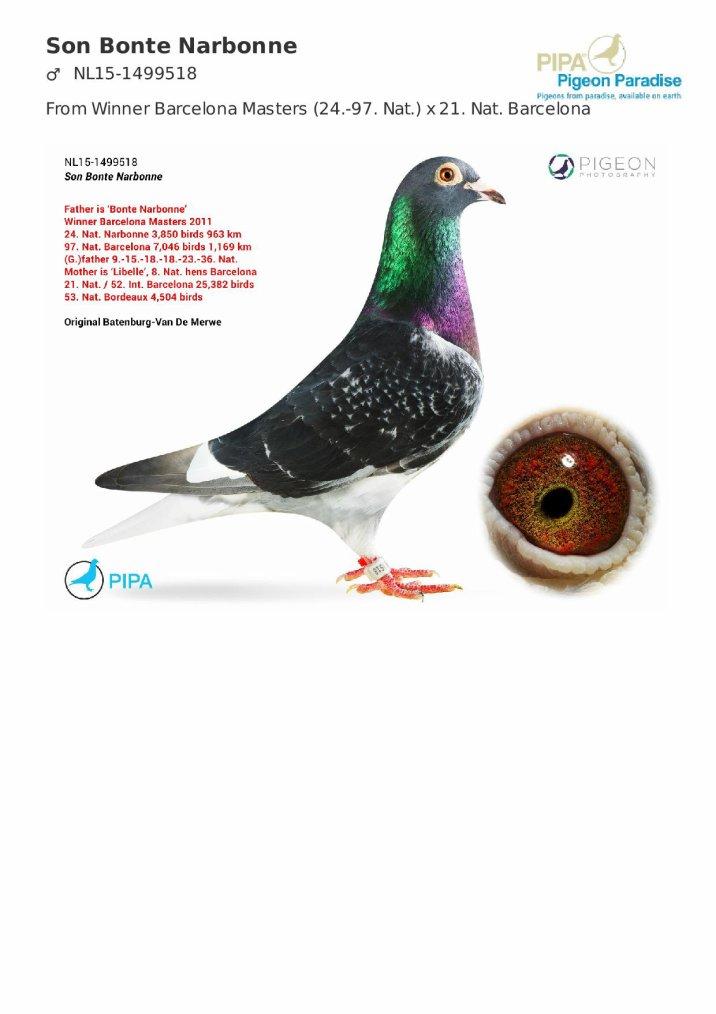 3 pigeons rejoindront bientôt le colombier de reproduction..... un pas vers le grand fond