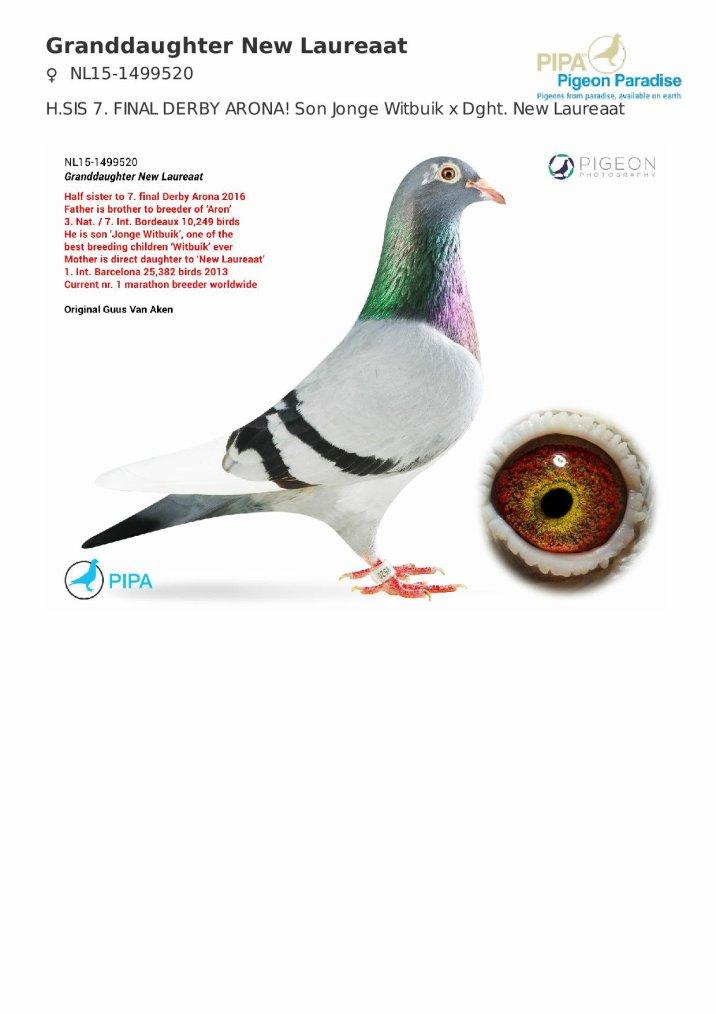 Le second pigeon pour le colombier de reproduction.... Petite fille du NEW LAUREAAT