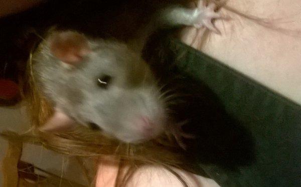 c est le rat de mon homme