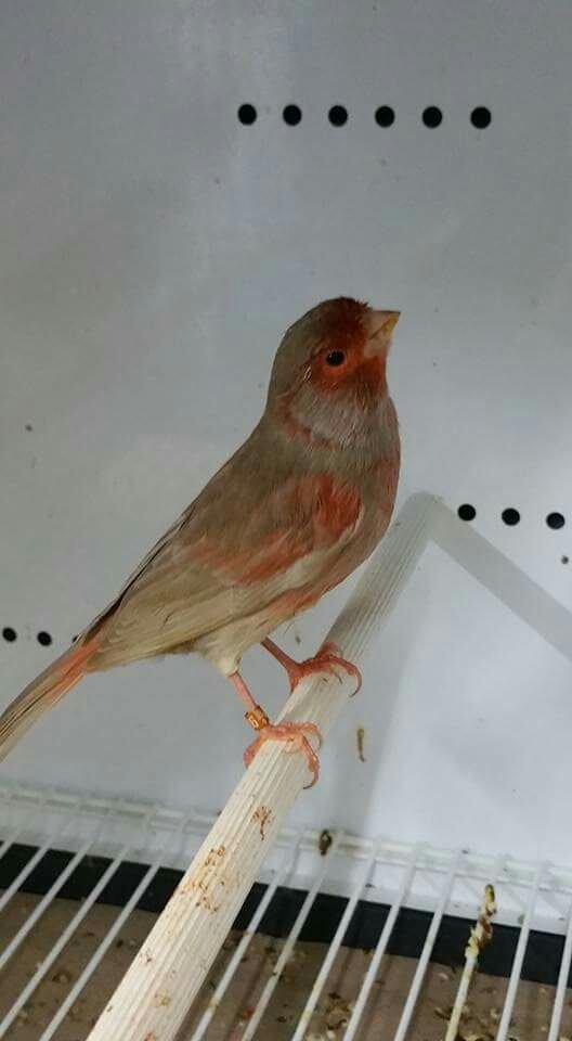 Brun pastel mos rouge mâle