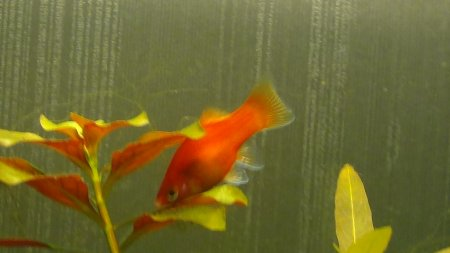 Platy corail rouge